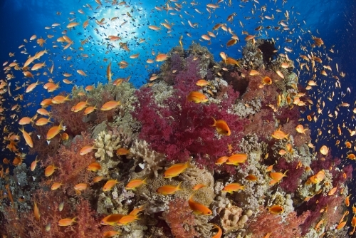 Red Sea reef scenic