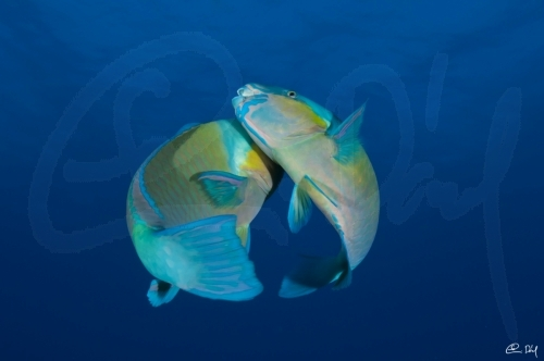 Dancing parrotfishes